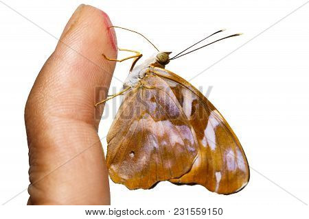 Isolated Common Pasha Butterly ( Herona Marathus ) Sucking  Sweet Water From Human Finger On White