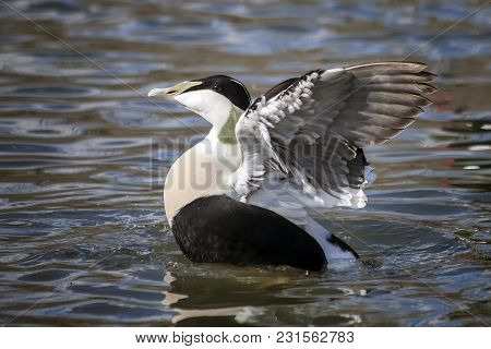 Common Eider Duck ( Somateria Mollissima) Sea Bird Which Was Used To Make Eiderdown