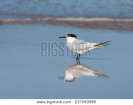 A Sandwich Tern Standing At The Beach