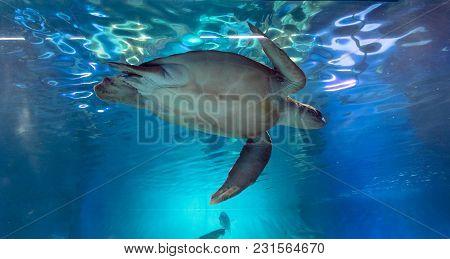 Green Sea Turtle, Chelonia Mydas, Swimming In The Aquarium