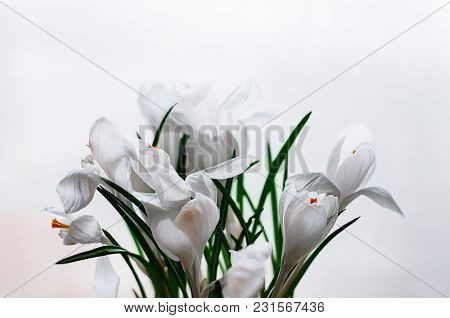Closeup Soft Focus View Of White Crocus Flowers In Blossom On White Background