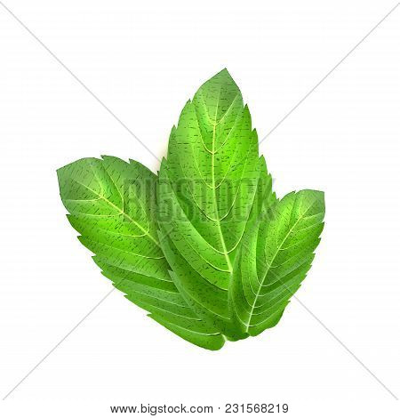 Realistic Mint Leaves. Menthol 3d Herb Green Plant Condiment, Spice. Vector Illustration, Peppermint