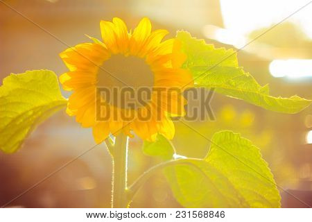 Blooming Sunflowers In The Rays Of Low Evening Sun. Backlight Sunlight.
