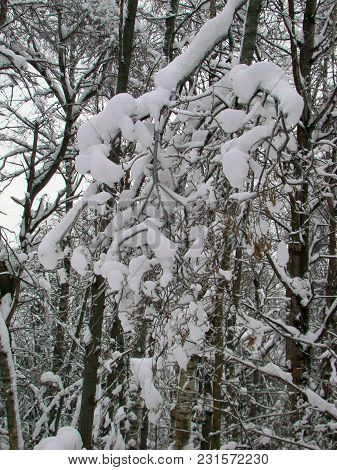 Bushes Twigs After Heavy Snowfall In Winter