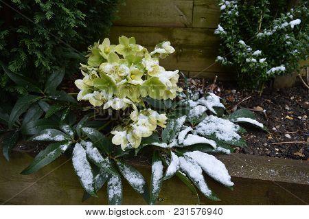 Helleborus In Snow