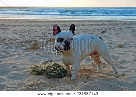 French bulldog playing with a rope at the beach at sunset