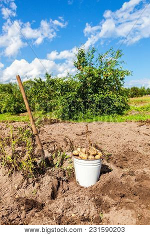 Freshly Dug Potatoes In Metal Bucket And Shovel At The Vegetable Garden In Sunny Day