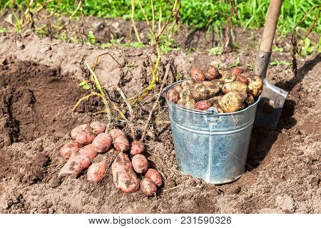 Freshly Dug Potatoes In Metal Bucket And Shovel At The Vegetable Garden