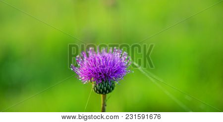 Flower Of A Thistle In Droplets Of Dew On A Blurred Green Background. Spring. Panoramic And Web Bann