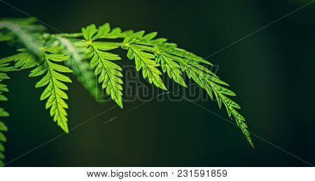 Green Foliage Of A Plant On A Dark Background. Summer Season. Panoramic And Web Banner.