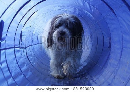 Hairy Dog Is Running In The Agility Tunnel