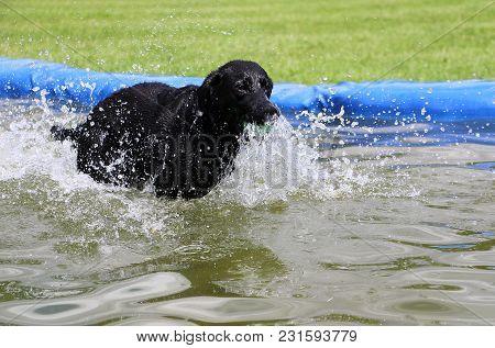 Black Labrador Retriever Have Fun In The Pool