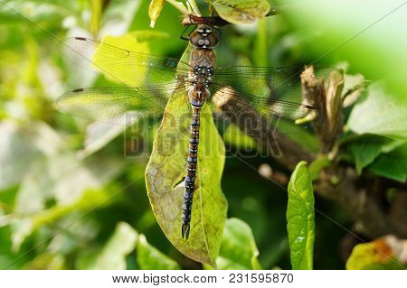 Dragonfly - Coenagrion Pulchellum - Dragonflies Beautiful Insects