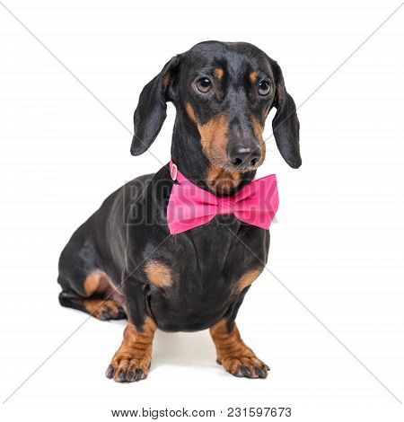 Portrait Of  Elegant Dachshund Dog, Black And Tan, Wearing A  Pink Bow Tie, Isolated On A White Back