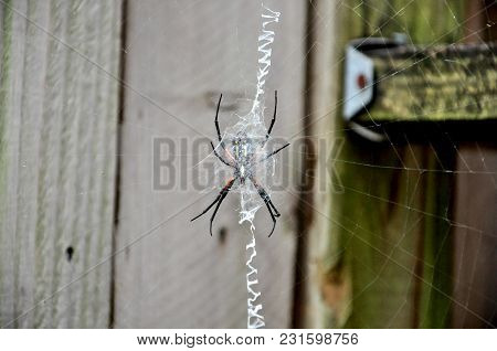Yellow Garden Spider Sits In Its Web. Fence In Background. Intricately Woven Web In Foreground.