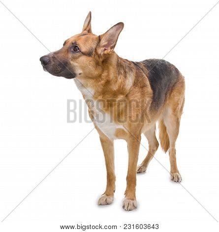 Photo Of German Shepherd Waiting Command On White Background