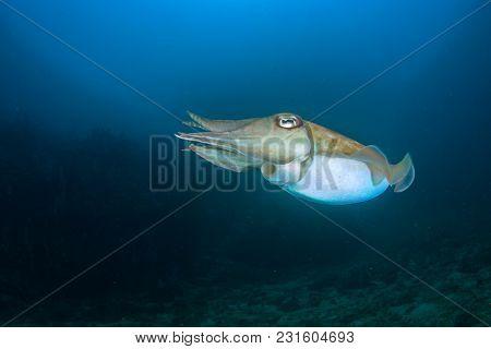 Cuttlefish fish underwater