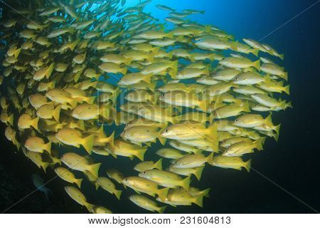 Fish school underwater: snappers and goatfish