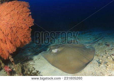 Jenkin's Ray (Stingray or Whipray)