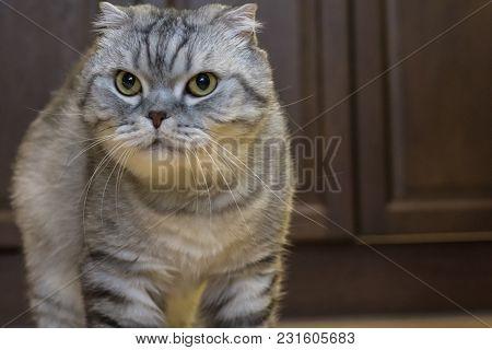 Big Gray Cat Scottish Fold Mammal Afraid