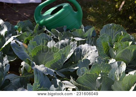 Fresh Succulent Cabbage And Green Watering Can