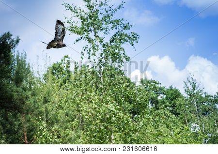 The Bird Is A Predator In Flight. The Bird Is Hunting.