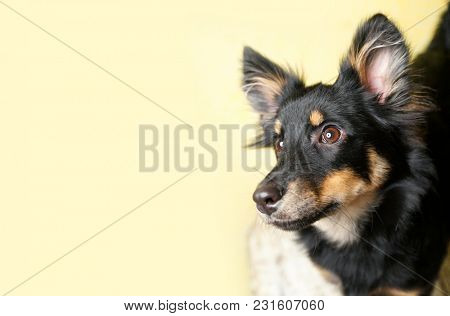 Dog on a yellow background. Black little dog