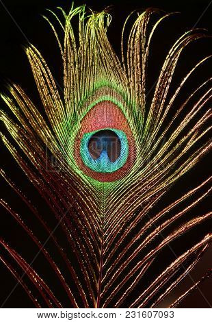Peacock feathers. Carnival. Peacock's tail. Decoration for a carnival costume