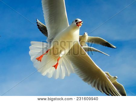 The Seagulls Flying In The Sky And Eating Piece Of Bread With Light Clouds And Blue Color Of Sky In