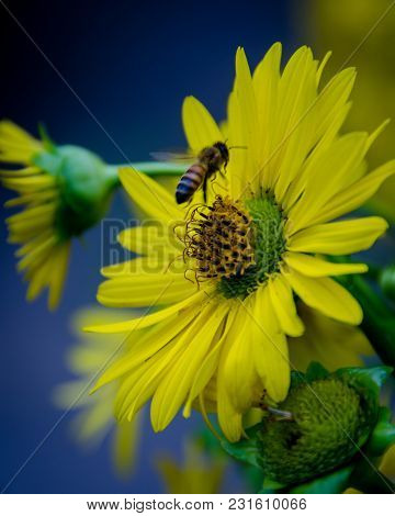A Bee Leaves A Sunflower In Closeup