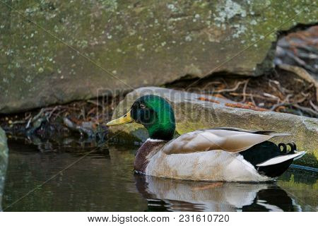 View To A Beautiful Swimming Mallard Duck (anas Platyrhynchos) In The Water. Close-up Of A Male Duck