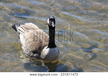 A Canadian Goose Swims On The Calm Flat Water Observed In Winter 2018