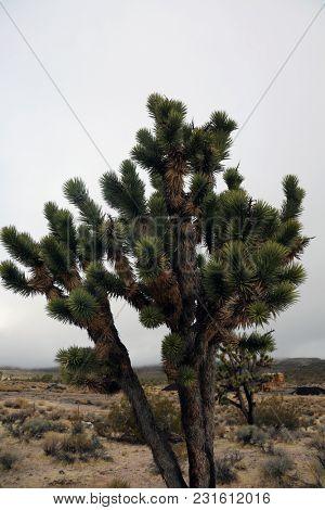 Joshua Tree. Joshua Tree in Death Valley California and Nevada. Joshua Tree in the Mohave Desert of California and Nevada.