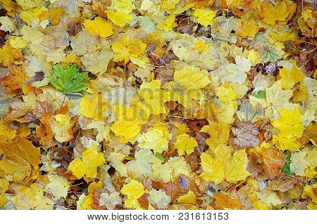The Autumn Leaves Form A Nice Yellow, Green And Ocher Mosaic