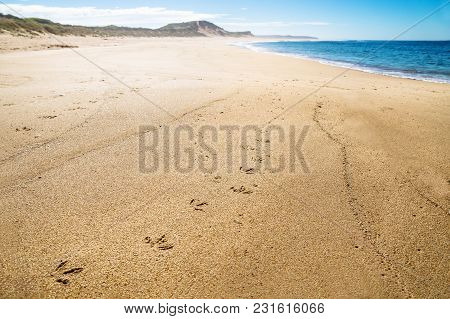Pinguin Footprints At The Beach With Green Hills Of Peterborough At The Great Ocean Road, Victoria,