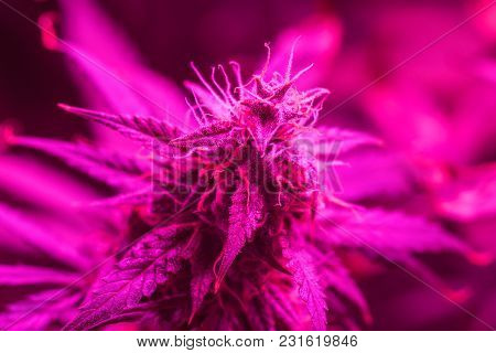 Led Lamps Grow A Large Bud Cannabis Grown Under . The Concept Of Growing Medical Marijuana Under Art