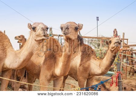 Camels At The Camel Market In Al Ain In The United Arab Emirates.