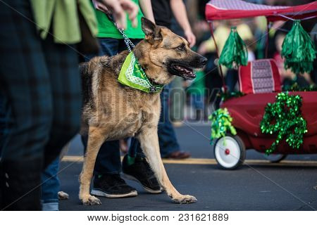 Festive German Shepard Dog Walking Parade Route With Handler While Dressed In Green Saint Patrick Da