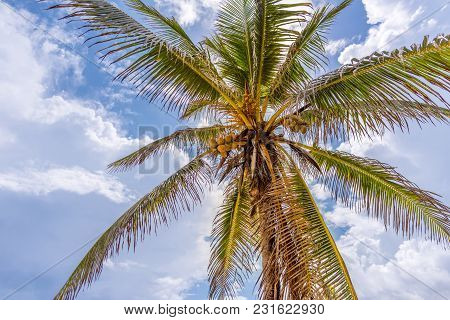 Shoot From The Bottom Upwards To A Tall, Tropical, Coconut Palm With Fruit, The Sky With Clouds