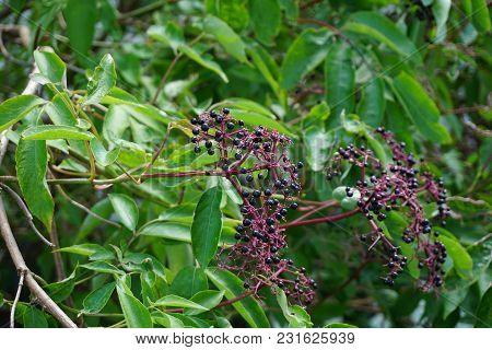 Clusters Of Elderberries Ripen On Elderberry Bushes (sambucus Sp) In A Garden In Joliet, Illinois Du