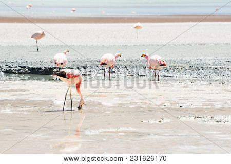 Pink Flamingo In The Lagoon In Plateau Altiplano, Bolivia. Shallow Depth Of Field