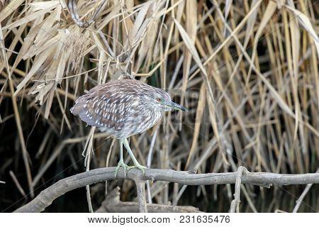 Black Crowned Night Heron (nycticorax Nycticorax) Juvenile Foraging. Santa Clara County, California,