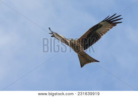 Red Kite In Flight In The Uk Pictured 2018