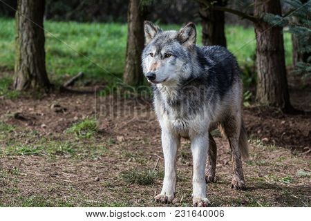 Wolf Pictured In Woodlands In The UK  During 218