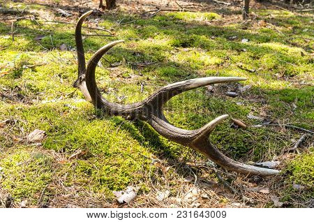 The Demolished Antler. Marriage Period. Hunting Grounds