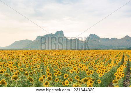 Big Sunflower Field Skyline With Mountain Background, Natural Landscape Background