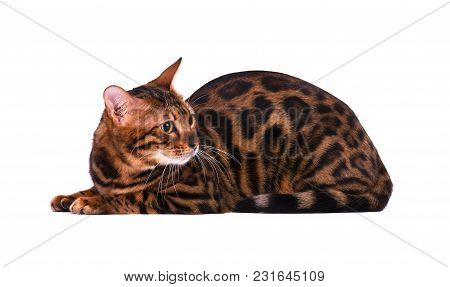 Portrait Of Bengal Cat, Isolated On White Background.