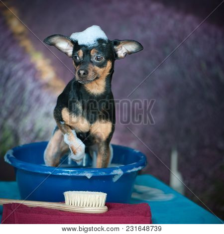 Funny Puppy Is Washed In A Basin With Foam, On A Beautiful Background Of A Lavender Field. In The Fo