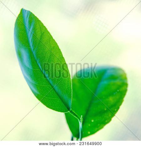 A Green Lemon Tree Leaves Close Up