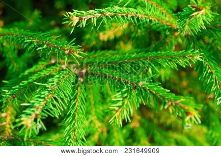 A Pine Tree Twigs As A Background